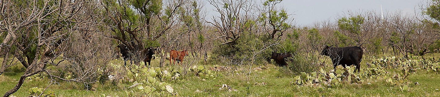 Image of cattle in a pasture with prickly pear