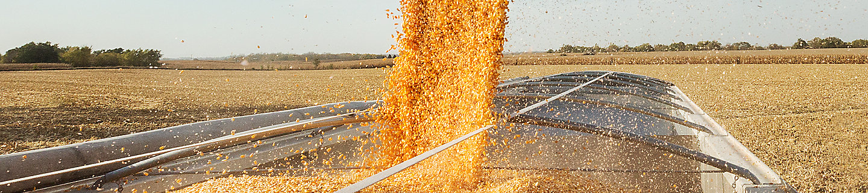 Corn harvest, corn field