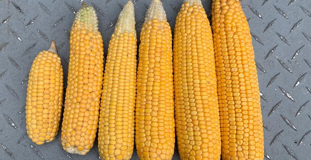 Corn cobs side by side.