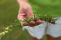Crabgrass being held in a hand
