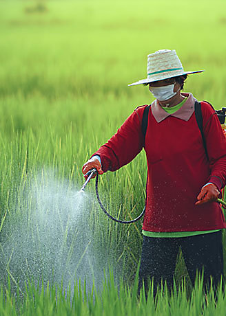 Farmers spray insecticides on rice