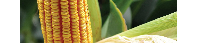 Крупный початок кукурузы