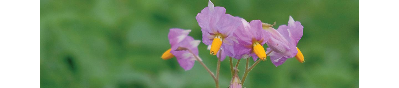 Крупные фиолетовые цветки картофеля