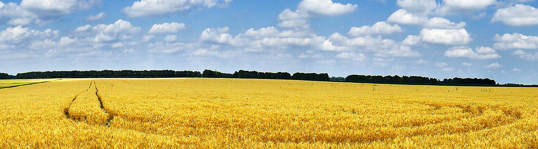 Желтое поле зрелой пшеницы
