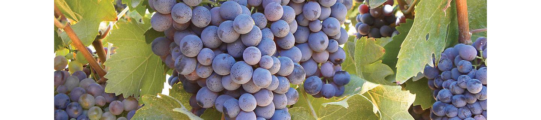 Гроздья спелого винограда