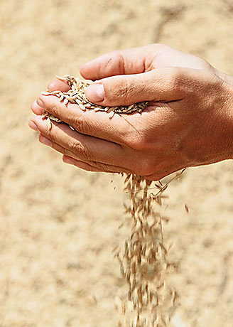 Handful of rough unmilled rice grains