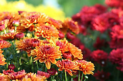 Image of orange and red mums