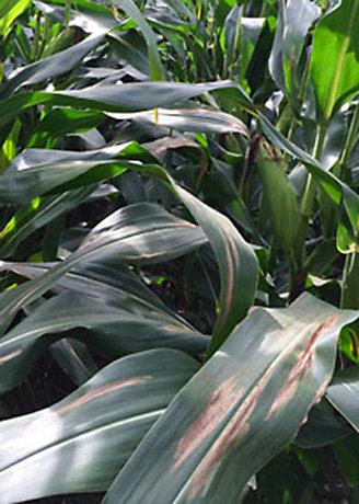 Photo - Northern Corn Leaf Blight