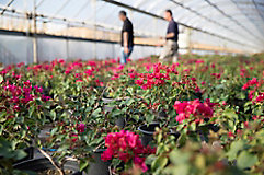 Image of flowers in a greenhouse