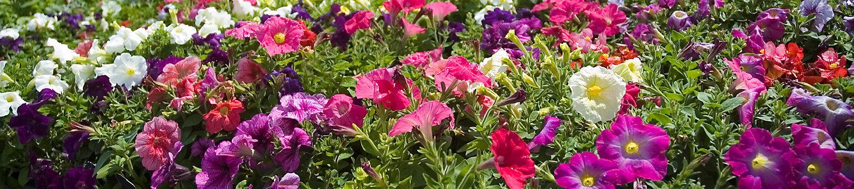 Image of petunias in nursery