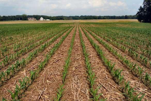 Photo - Early corn growing in field.