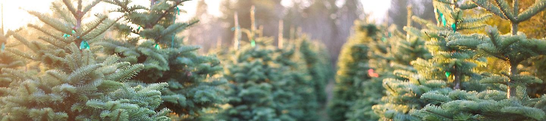 Image of pine trees