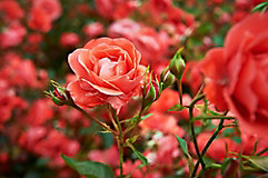 Image of rose bush