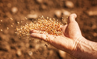 sower hand wheat