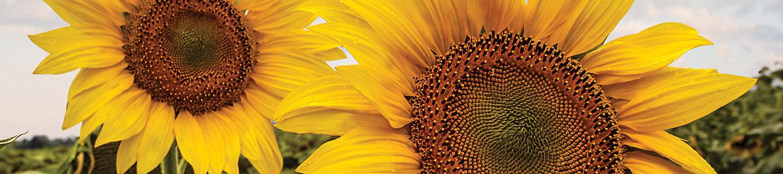 Sunflower field, Sunflowers