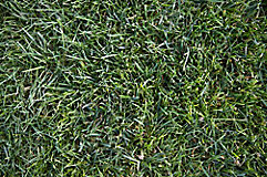 Image of tall fescue