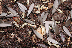 subterranean termite colony