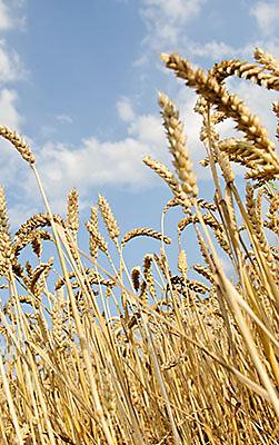 Close-up wheat