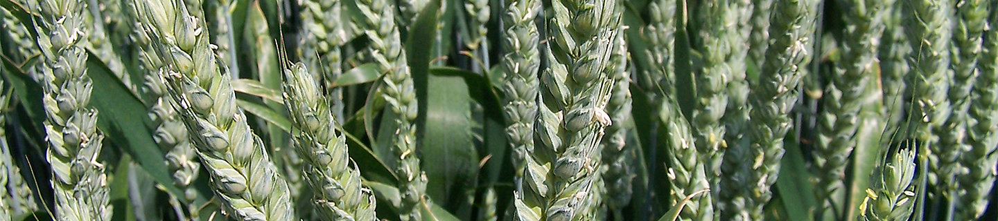 wheat ears at flowering stage