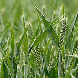 Wheat   Starane