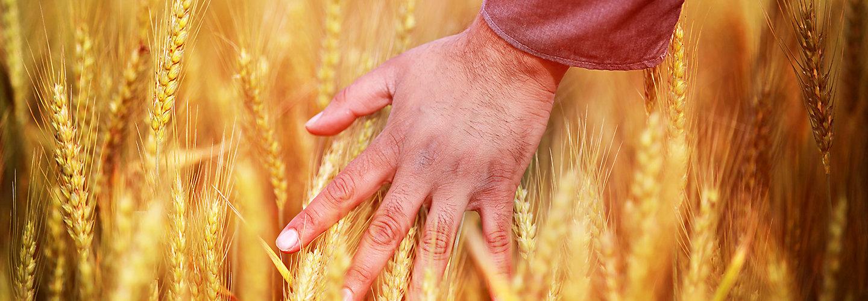 wheat human hand