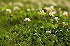 Image of white clover in grass