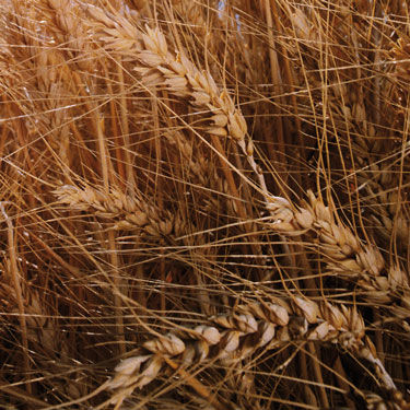 Wheat Banner Mobile