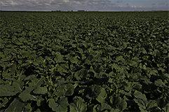 Dark canola field