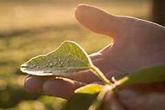 Hand holding soybean leaf