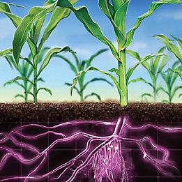 Plants de maïs avec des racines pourpres