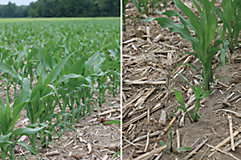 Lumivia vs. fungicide only in corn