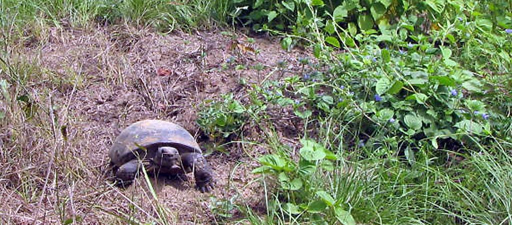 Tortoise crawling through field