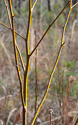 Picture of a dormant stem
