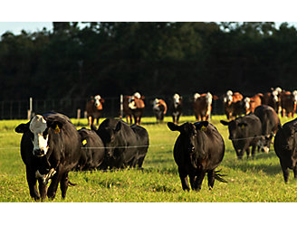 Cattle in a lush pasture