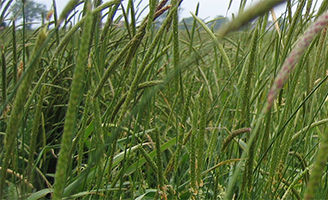 Blackgrass