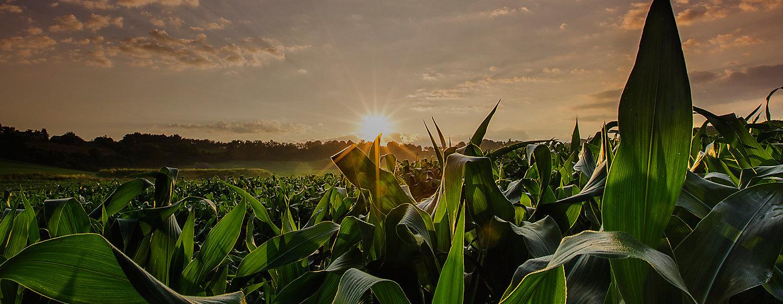 Atardecer en un campo de maiz