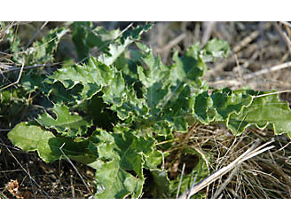 a picture of canada thistle