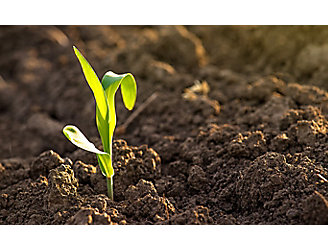 Image of young corn in soil.