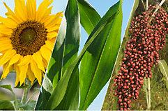 Girasol, maíz y sorgo