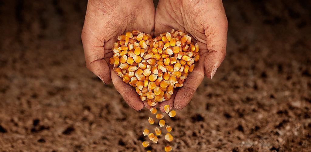 Hybrides de maïs Brevant