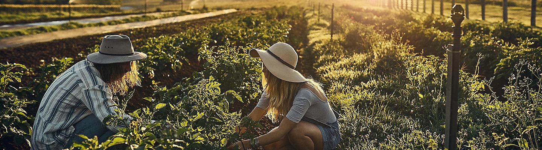 Farmers harvest crops in field