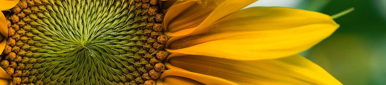PPP de cultivo de girasol