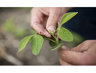 Hand holding a soybean seedling.