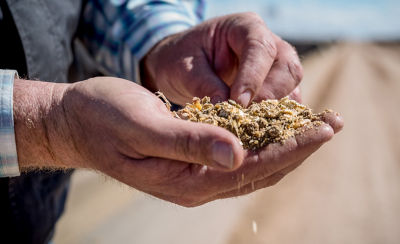Image of handful of silage