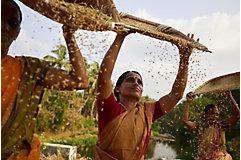 Woman farmer threshing chaff