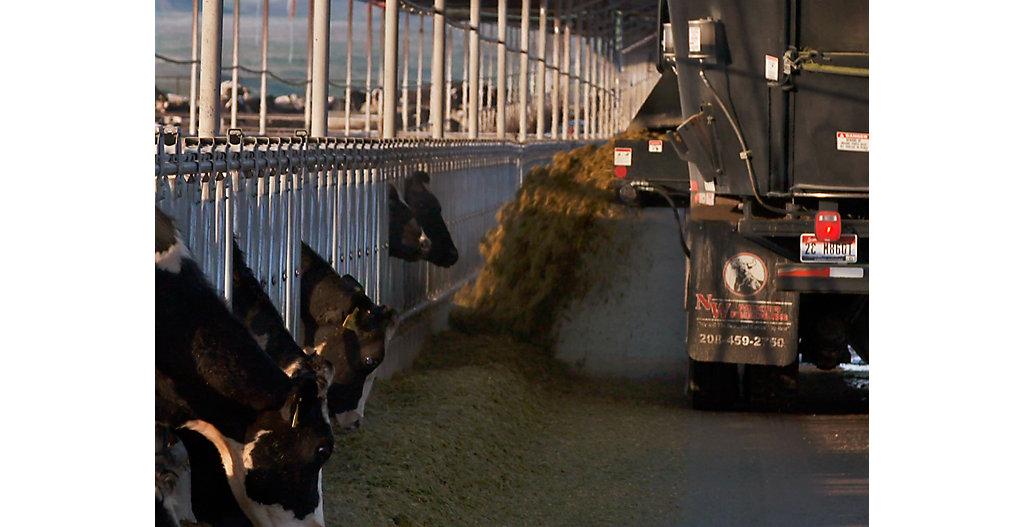 Feeding dairy cows silage