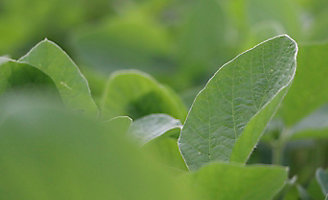 soybean leaf