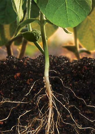 Soybean plant with roots