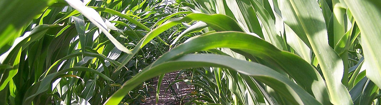 maize crop
