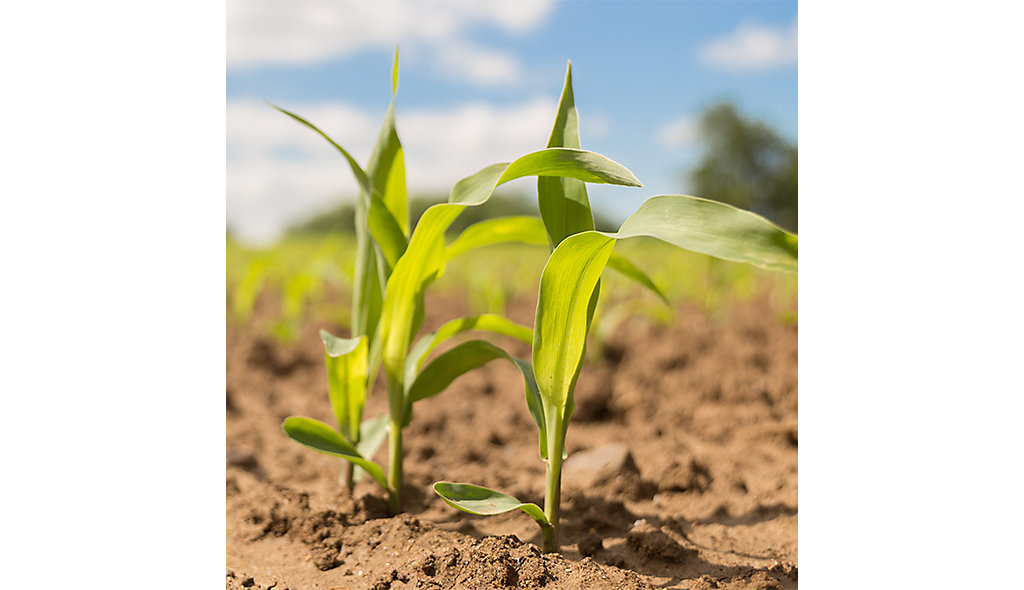 growing maize